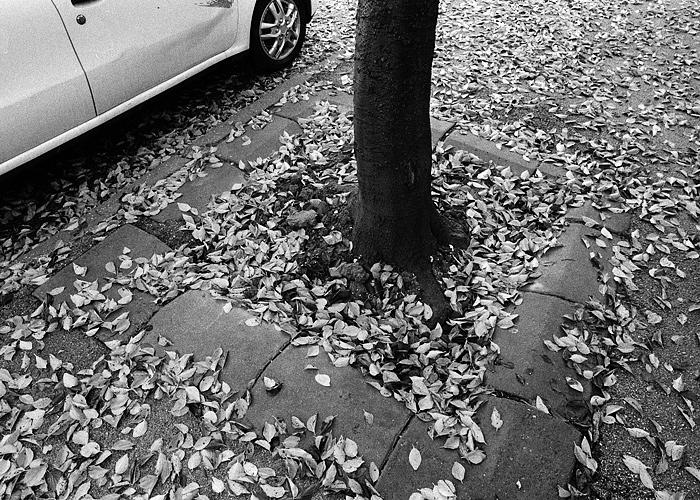 leafs-tree-car