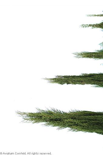 white-tree01